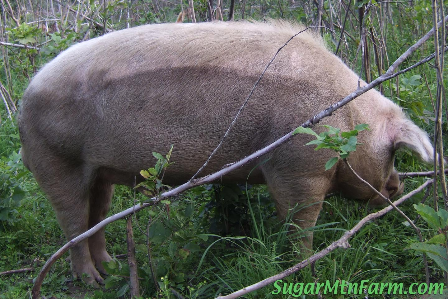 how to cook pork with boar taint