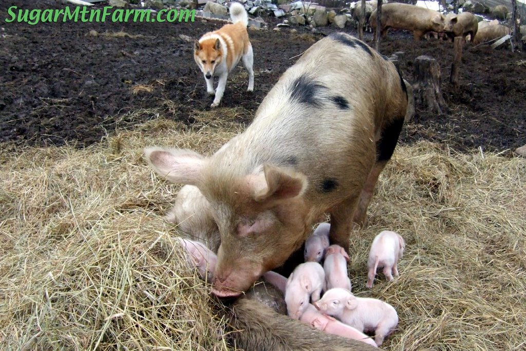 Boars with Piglets | Sugar Mountain Farm