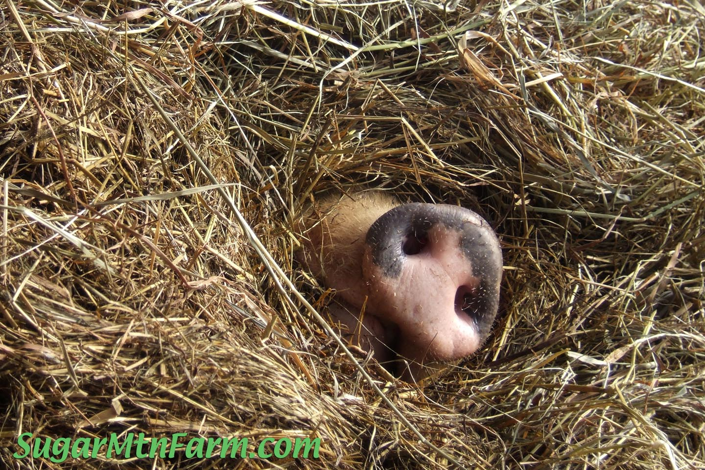 how to keep guinea pigs warm during winter