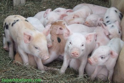 Piglets in Winter Pallet Shed