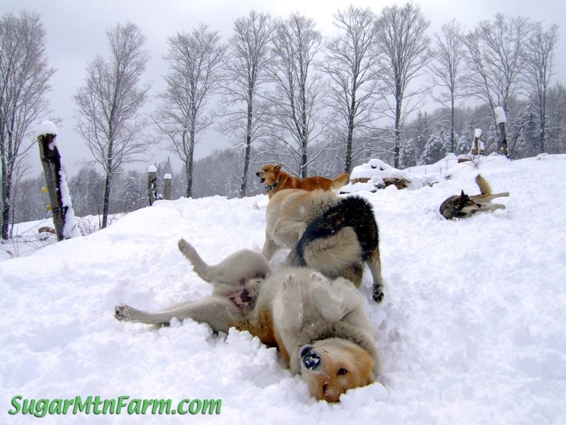 Dogs on snow dogs