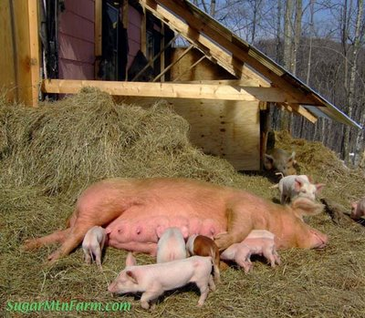 Piglets | Sugar Mountain Farm