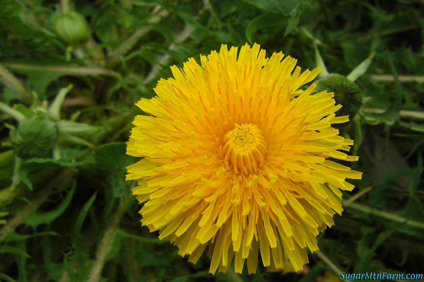 First Dandelion 2011