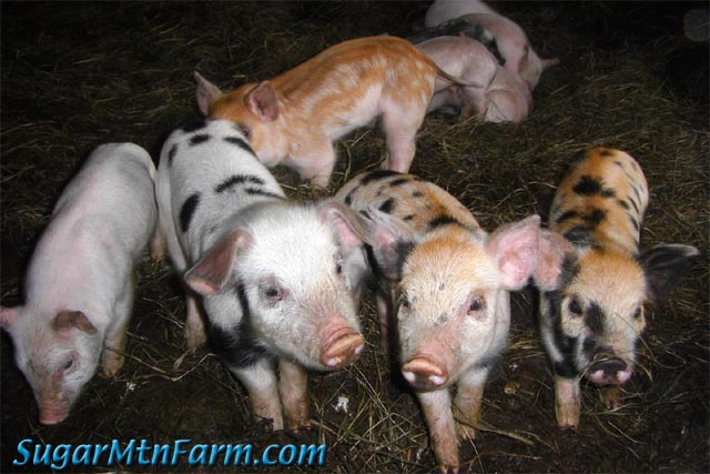 Winter Born Piglets