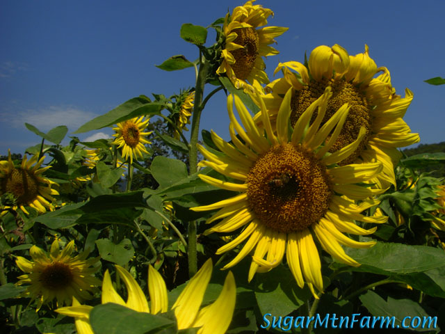 black oil sunflower seeds black seed sunflowers sugar mountain farm 29163